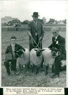 Three half-bred Suffolk Sheep - winners of their classat the Fakenham Show, owned by Mr. F.C.Hunter, of RedBarn, Ingoldisthorpe.