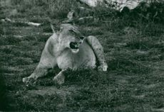 Lioness in Africa.
