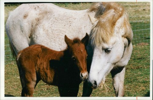 First Camargue Horses born in Britain.