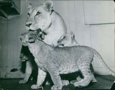 Lioness with her cubs.