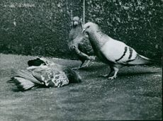 A photo of pair of pigeon standing in front of a dead pigeon.