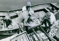 Fishermen accumulating fishes in boats in Israel