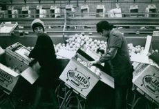 Workers standing and packing apples in the containers.