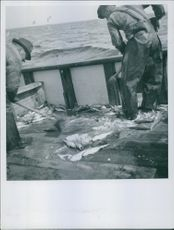 """Two fishermen gathering the fish they've caught.  """"fisherman""""  1945"""