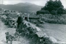 An old man standing in the village, looking at dogs.
