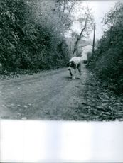 A dog walking on the road.