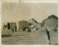 Israel Views of: the Camel