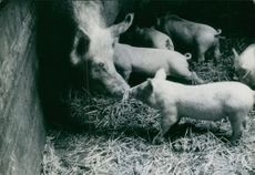 A sow with her piglets. 1971