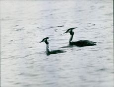Two Great Crested Grebe are enjoying swimming together.