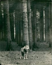 American timber wolf at Whipsnade Zoo