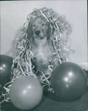 A puppy decorated with paper shreds and balloons.  Taken - Circa 1958