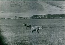 1983  A photo of Hyenas wondering in the Africa field.