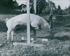 A boar is jumping on a panel. 1968