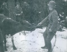 Soldier pulling the cow in snow during First World War, 1940.