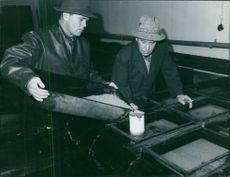 Two men pouring fertilized Salmon Roe in to circulating water