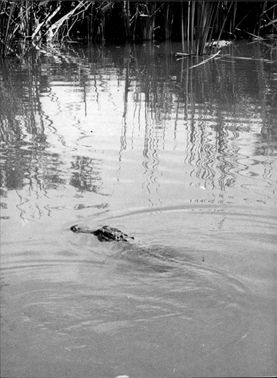 Crocodile in the marshlands around the Everglades.