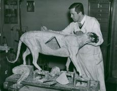 Conservator Magister Lundström with the Swedish National Museum's puma