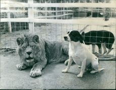 A lion and dog sitting inside the cage, 1960.
