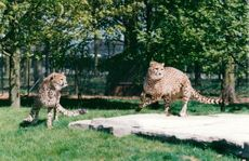 Cheetah Cub Masai and Maisha at Whipsnade Zoo