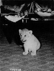 Lion cub portrait.  - Mar 1966