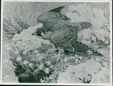 Charles Tunnicliffe: young wings an eyass falcon.