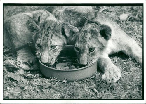 Animal Lion:Baby Lion cubs.