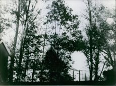 Tall trees at the back yard of the house.1964.