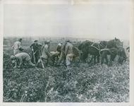 U.S. soldiers aid in French harvest.