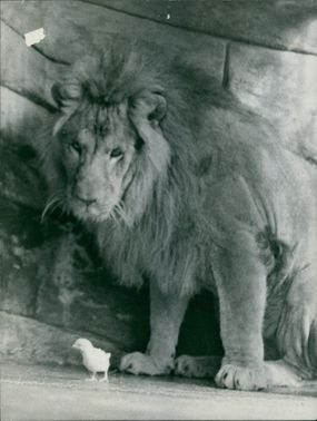 Portrait of a lion and a chicks. 1960