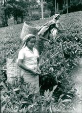 Sri Lanka: tea picker