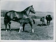 A foal milking form udder of mare.