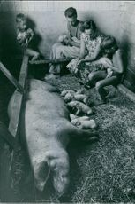A man, woman and two boys holds piglets inside pig pen, 1955.