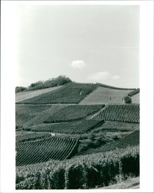 The vineyards above turckheim one of the small wine.