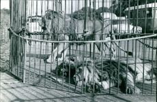 Lions in cage.