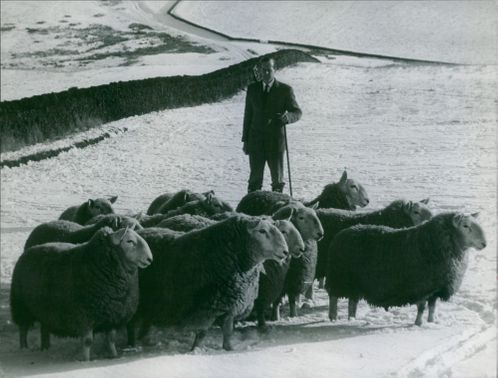 A shepherd of the group of sheep.