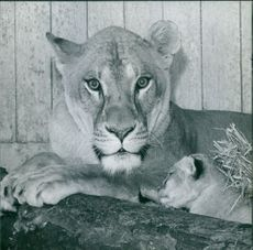 A lioness sitting with her cubs in 1960.