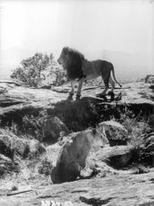 A photograph of a lion standing on a rock while the lioness sitting.