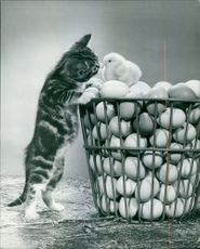 A cat curiously looking closely at the chick. 1968.