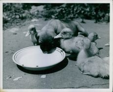 Puppy drinking milk from the bowl and birds gathered around him.