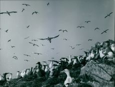 Gannets flying and siting together.  1968
