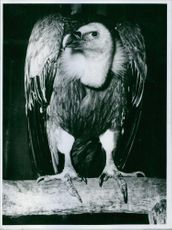 A portrait of an eagle. 1967