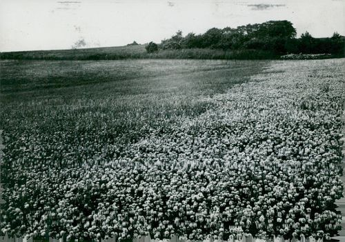 Field with white clover and rag grass