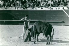 Bullfighter named Pepe Mata fighting with a bull inside the bullring.