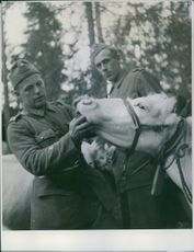 Swedish officer looks at Finnish cow's teeth in Tornio during the war, Finland, 1944.