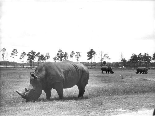 One of the rhinos at the Lion Country Zoo outside Miami.