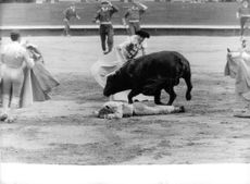 Bullfighters trying to control aggressive bull.