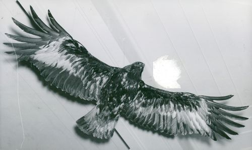 Stuffed King's Eagles at the National Museum