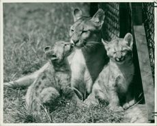 South American Puma Diana with twin kittens at Whipsnade Zoo