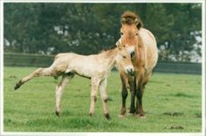 Przewalski's Foals at Whipsnade Zoo