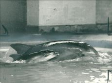 Animal:17-day-old Dolphin.